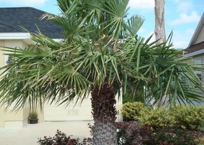 Copernicia Palm