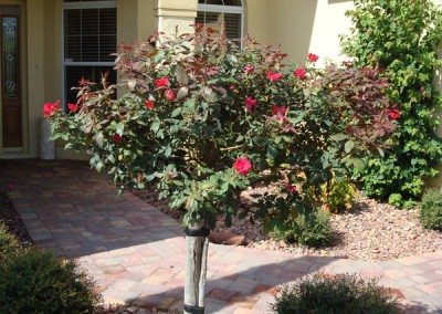 Knockout Rose Standard Tree
