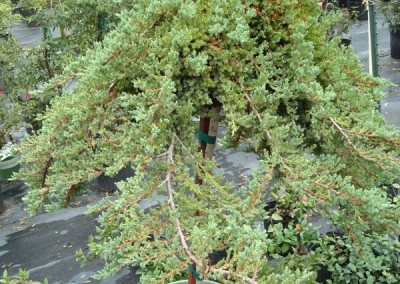 Nana Procumbin Juniper Topiary