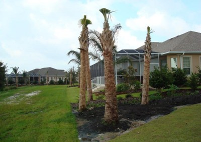 Sabal Palmetto or Cabbage Palm