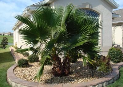 Washontonia Palm